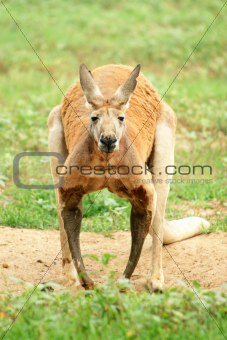 Red Kangaroo looking at camera.