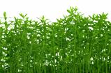 background with growing green flax