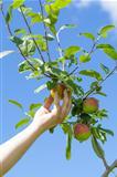 Hand near apple in garden in summer