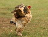 Bantam Chicken