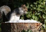 Grey Squirrel in Winter