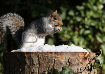 Grey Squirrel in Winter