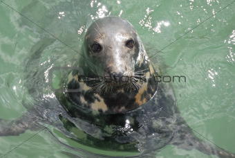 Grey Seal (Halichoerus grypus), Newquay Harbour, UK