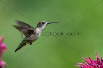 Ruby-throated hummingbird with purple flowers