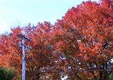 Power grid line on autumn red trees background