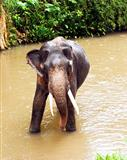 An Indian elephant