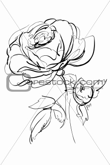 Sketch of rose on a white background