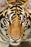 tiger face