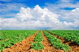 Green potato field with sky and cloud