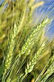 Green wheat field before harvest