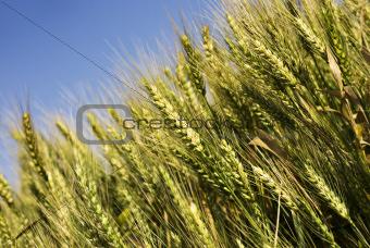 Green wheat field before harvest