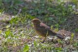 Female Blackbird in Spring Park