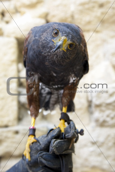 Harris&#39;s Hawk