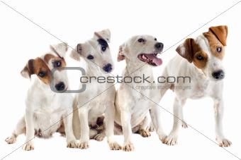four jack russel terrier
