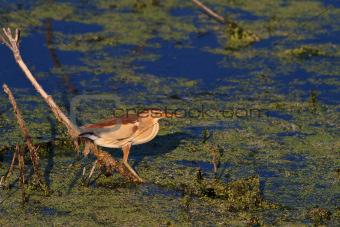 Little Bittern (Ixobrichus minutus)
