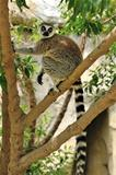 Madagascar's Ring-tailed lemur sitting on the tree.