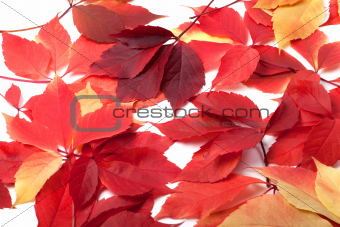 Scattered red autumn leaves. Virginia creeper leaves.
