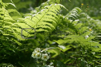 fern leaves and flowers of wild strawberry