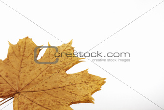 Autumn leaf of maple isolated on white with reflection on the left corner