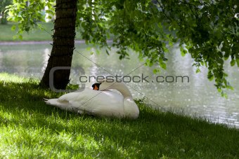 Mute swan on grass under the tree