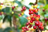 coffee tree with ripening
