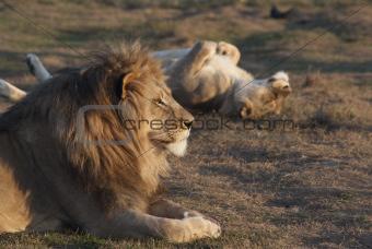 Lion's rest