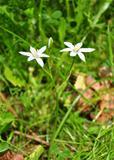 Star-of-Bethlehem (Ornithogalum umbellatum)