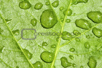 Leaf and drops of rain