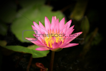 Pink lotus flower