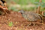 female barred buttonquail