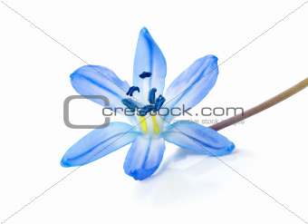 Blue snowdrop isolated
