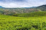 Tea Tree Field and vegetable gardens, Sri Lanka