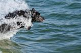 Dog Diving and Swimming