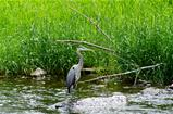 A Great Blue Heron At The River's Edge