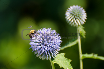 A Bumblebee Gathers Pollen While Under Close Supervision