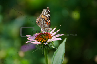Painted Lady Butterfly on an Echinacea Flower