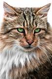 Looking cat portrait front view