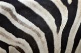 Pattern of a zebra skin 