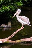 A Dalmatian Pelican