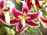 Oriental Stargazer Lilly
