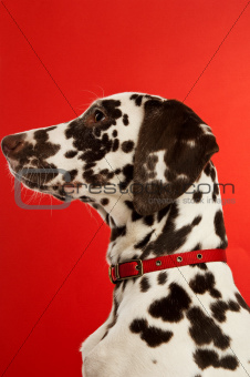 Dalmation Puppy with a red collar