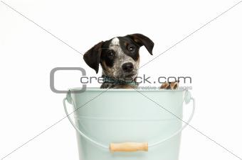 Cute terrier puppy in a bucket