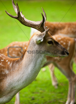 Large whitetail buck in the woods