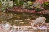 Sika deer drinking water in autumn