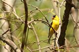 American Goldfinch Perched on a Tree Branch
