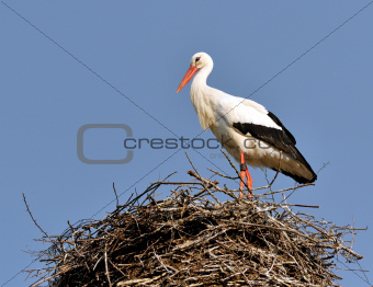 Stork in the nest II