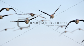 Flock of greylag geese in flight