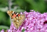 Butterfly on Lilac flower