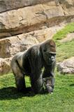 Big male gorilla on the nature