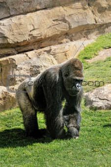 Big male gorilla on the nature